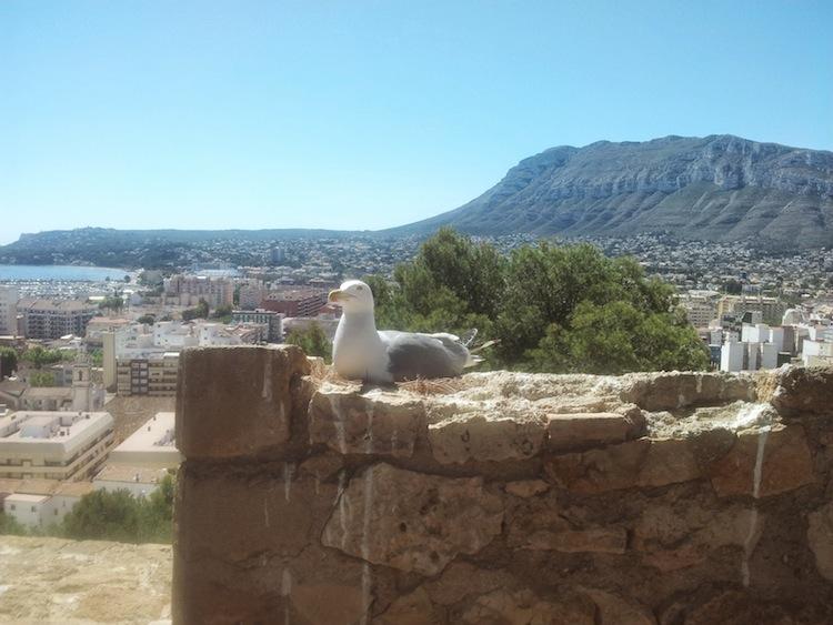La plaga de gaviotas regresa al Castillo de Dénia