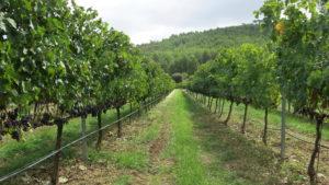Imagen de los viñedos de septiembre de 2013.