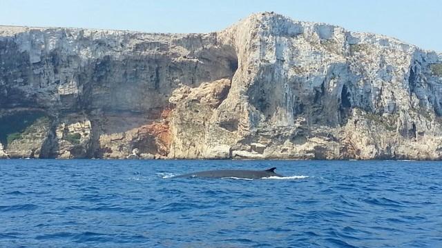 Cuatro enormes ballenas se pasean junto al cabo de Sant Antoni en Dénia y Xàbia
