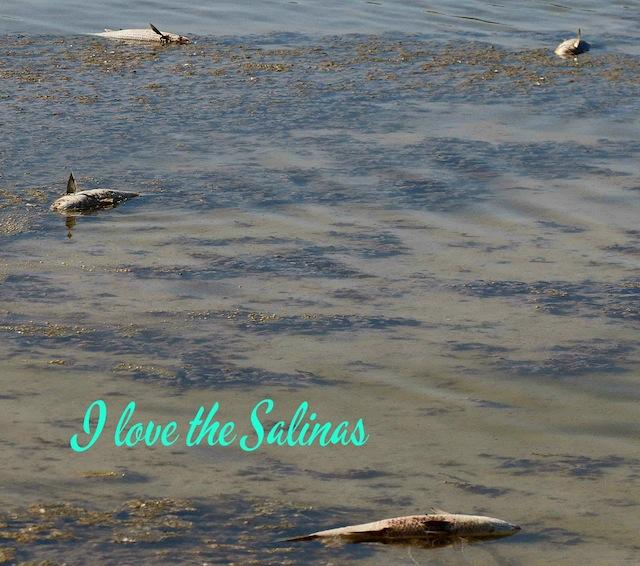 La desecación de Les Salines de Calp prosigue imparable con la aparición de peces muertos