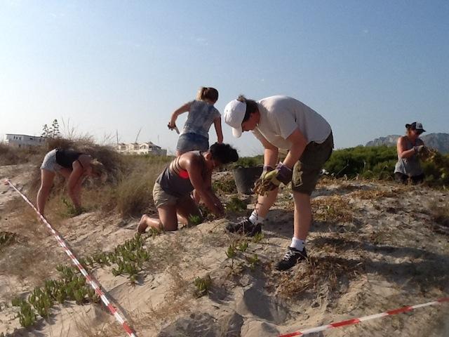 Voluntarios de Australia o EEUU eliminan las plantas invasoras de las dunas de Les Deveses