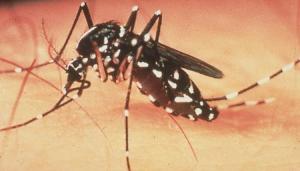 Viviendo bajo el acoso del mosquito tigre en la Marina Alta