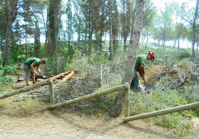 Xàbia tala pinos que se habían salvado del incendio del Montgó al estar afectados por una plaga