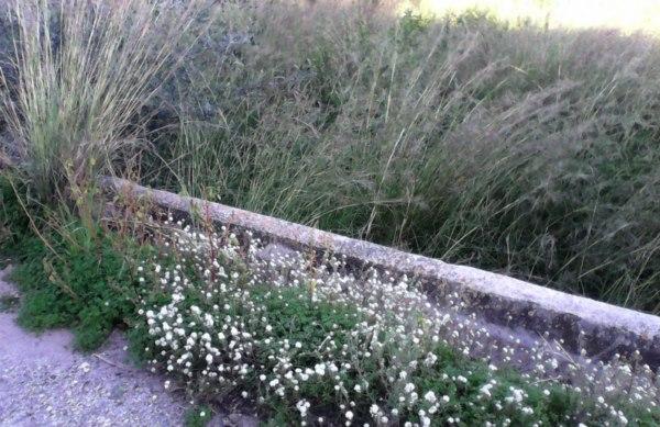 Plantes del nostre entorn XI: Herbes ruderals
