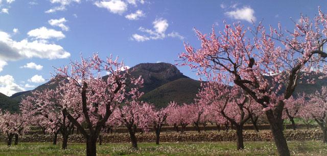 Alcanalí en flor, un espectacle de la natura com a reclam turístic