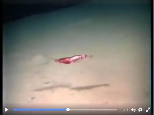 [Vídeo] Cómo es la vida de la gamba roja a 700 metros de profundidad