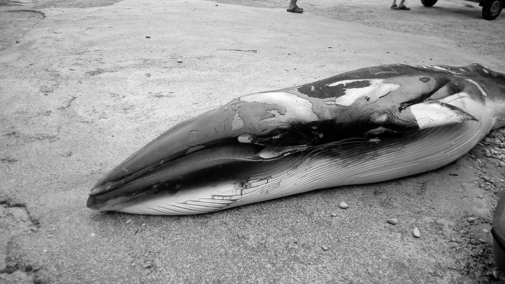 Rescatado con kayaks el cadáver de la cría de rorcual hallada en Xàbia