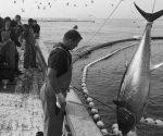 atun-rojo-pesca--644x362-ConvertImage