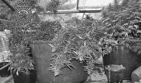 La Policía se incauta de 500 plantas de marihuana en una casa del Bisserot de Dénia y detiene al responsable del cultivo