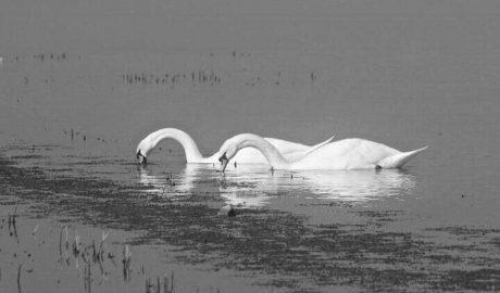 Los cisnes regresan al Marjal de Pego tras la retirada de las plantas invasoras en el Racons