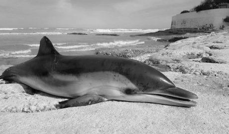 Aparece muerta en Dénia una cría de delfín, el tercer cetáceo varado en apenas unos días