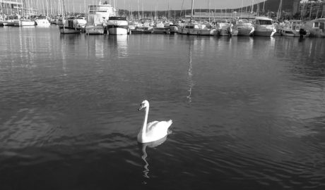[LA FOTO] Un cisne se pasea por el puerto de Dénia