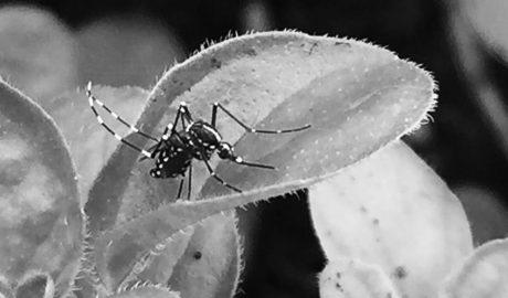 El mosquito tigre se frota las 'manos'