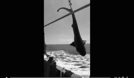 [VÍDEO] El pesquero Cap Prim de Xàbia libera el segundo tiburón en un mes