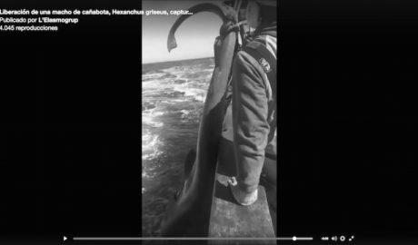 [VÍDEO] Un pesquero de Xàbia libera un ejemplar de tiburón en el Canal de Ibiza