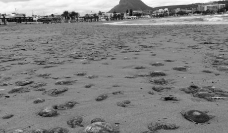 Un manto de medusas cubre la playa de l'Arenal de Xàbia tras el temporal