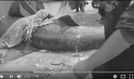 [VÍDEOS] Las impresionantes dimensiones del tiburón desembarcado en Calp