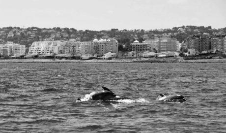 Los delfines se asoman a las playas de Xàbia
