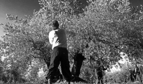 Crecimiento: ¿de quién son los olivos?