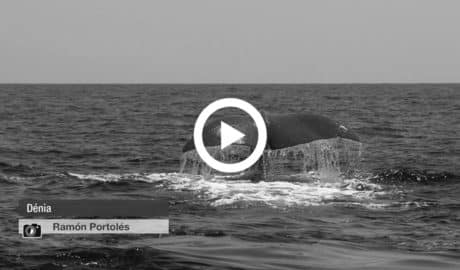 [VÍDEO] Balenes geperudes davant del litoral de Dénia