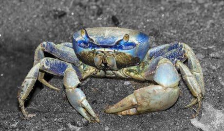 El cangrejo azul: peligro en el Marjal, manjar en el plato