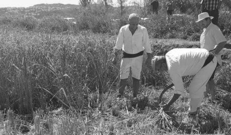 Una siega tradicional de arroz para reivindicar Pego como destino turístico rural y de naturaleza