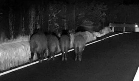 [LA FOTO EN LA RED] Manada de jabalíes en pleno Camí de Gandia