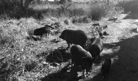[VÍDEO] La plaga de cerdos vietnamitas se eterniza en Xàbia