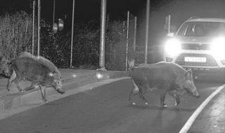 Preocupació a Pego per la proliferació de porcs senglars, que ja han causat 30 accidents enguany