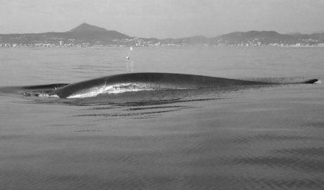Protección internacional para el corredor de cetáceos que pasa frente a la costa de la Marina Alta