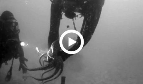 [VÍDEO] El IROX filma uno de los pulpos más difíciles de ver en el Mediterráneo