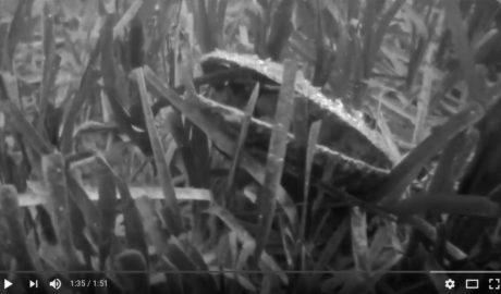 [VÍDEO] Una inmersión constata la «alarmante» mortalidad de la nacra en los fondos marinos de Xàbia
