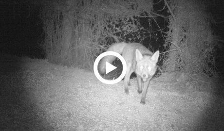 Un vídeo capta imatges nocturnes de la fauna salvatge a Teulada