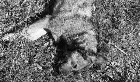 Huit denúncies ja per gossos enverinats a Benissa i Senija mentre l'alarma s'estén a Calp i Teulada