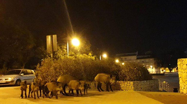 Una manada de jabalíes de excursión por el centro de Xàbia